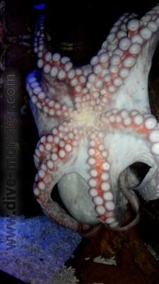 Huge Octopus