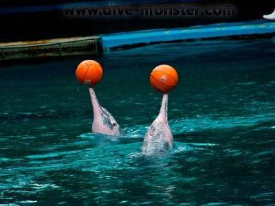 Pink Dolphins playing with their balls