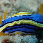 Daisy Diving in Apo Island - Cogon - Nudibranch