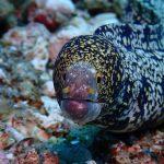Daisy Diving in Apo Island - Mamsa Point - Starry Moray Eel
