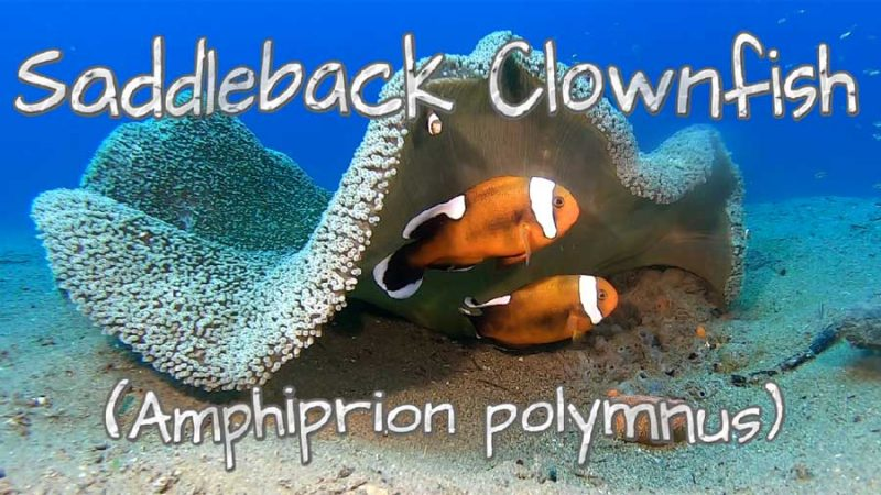 What's Down There? – Saddleback Clownfish (with Eggs)