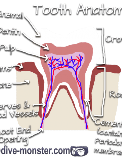 Tooth Anatomy Drawing by Daisy Brust