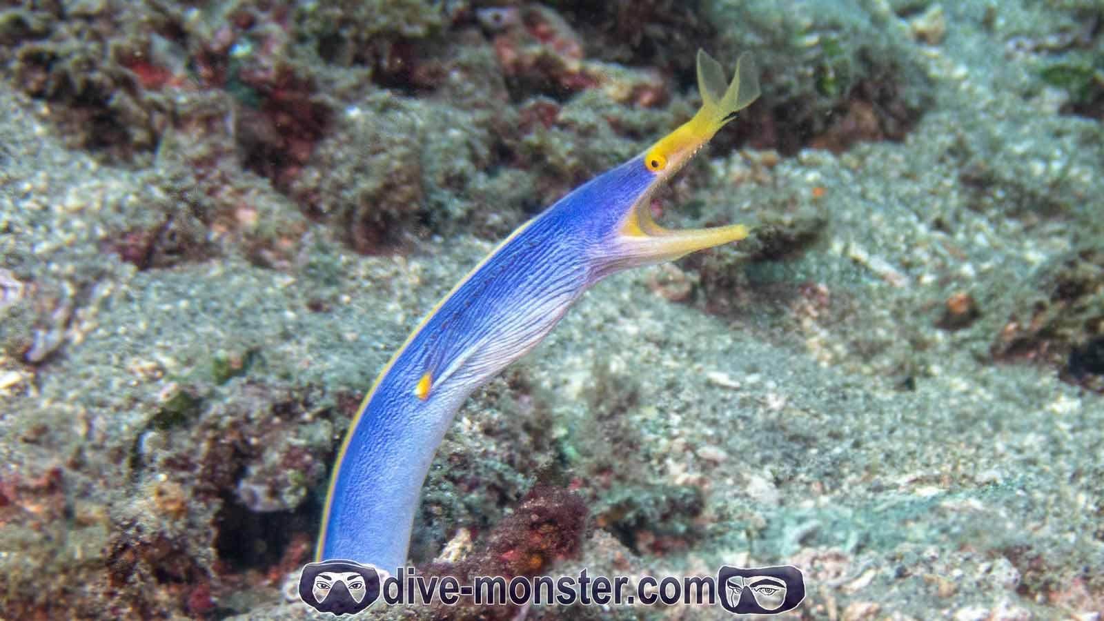 Basak Zamboanguita - Blue Ribbon Eel