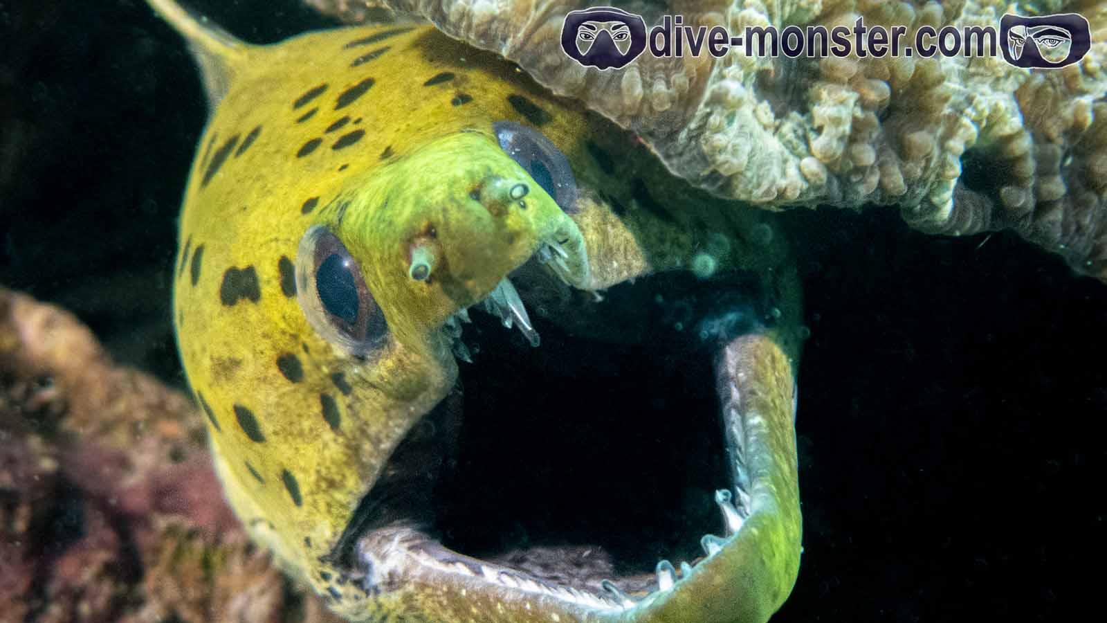 Basak Zamboanguita - Dark Spotted Morray Eel